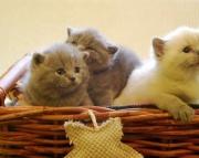 Y Nice Blue British Shorthair Kittens