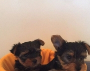 U M/F Clean Yorkshire Terrier Available Now