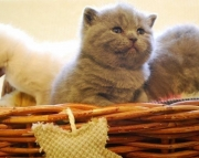 U Nice Blue British Shorthair Kittens