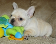 Available French Bulldog Puppies..