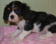Healthy King Charles Puppies.