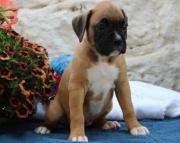 Akc Fawn Boxer Puppies..