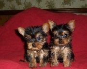 Amazing Yorkshire Terrier Puppies