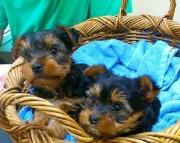 Loving Yorkie Puppies