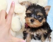 Home raised yorkie puppies