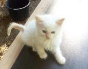 TICA Hypoallergenic Siberian Kittens Available