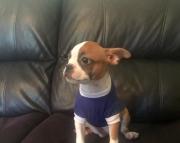 Beautiful CKC Registered Boston Terrier babies