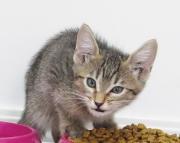 F5 savannah kitten Ruby