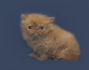 I have a few CFA Persian kittens and have a few babies available
