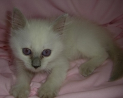 balinese traditional blue point female kitten ready now