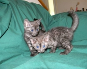 Two Stunning Smoke Egyptian Mau male kittens