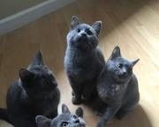 Scottish short hair straight kittens ready for new home!!! Sale!!!