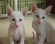 Oriental Kittens available to good homes