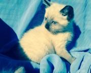 Siamese kitten. Ready to go