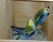 Rosella Birds male and female breeders