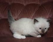 Ragdoll kittens !!! Adorable