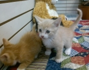 American Shorthair Kittens Ready For Sale