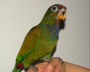 Pionus Maximilian Hand-fed Babies for Sale!