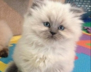 accommodating  Himalayan Kittens  Male/Female Available for Sale