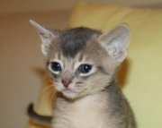 Abyssinian kittens, rare Blue and Rudy, CFA reg.Purebreed