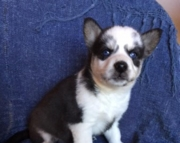 Alaskan Klee Kai male puppy