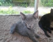 2 Male Manx Kittens
