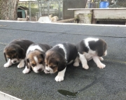 Sweetheart Tri-colored Beagle Pups for Sale