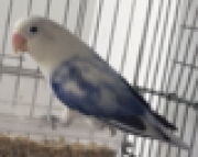 ready to breed sable male lovebird