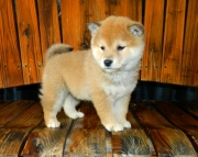 Excelling Shiba Inu Puppies Ready Now