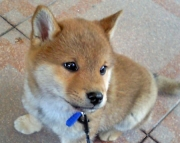 Energizing Shiba Inu Puppies For Sale