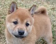 Dashing Shiba Inu Puppies Ready