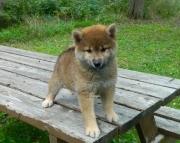 Dynamite Shiba Inu Puppies Vet Checked