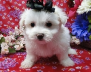 Decorous Maltese Puppies For Sale