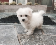 Dignified Maltese Puppies Available For Caring Homes