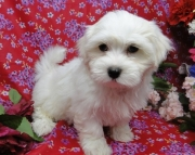 Dazzling Teacup Maltese Puppies For Sale