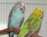 Reduction Sale on English Budgies - Breeders and just weaned