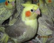 Handfed Baby Cockatiels