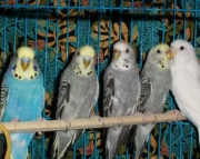 Parakeets-Variety of Colors
