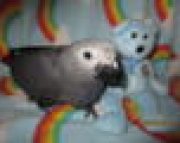 Baby Congo African Grey Male