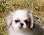Pekingese Puppies For Sale Jean