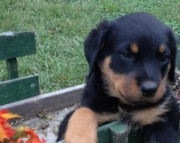 Angel Rottweiler Puppy For Sale