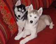 Blue Eyes Siberian Husky Puppies for Adoption Text (443) 266_6487)
