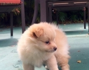 Awasome Pomeranian  Puppies ready to go now Text (443) 266_6487)
