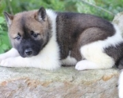 agreeable Akita Puppies for Sale