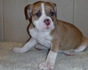 Amazing Alapaha Blue Blood Bulldog Puppies for Sale
