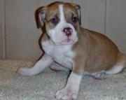 amazing Alapaha Blue Blood Bulldog Puppies for Sale