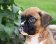 Active Boxer Puppie For ale