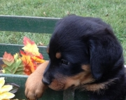Outstanding Rottweiler Puppies With Shots Ready