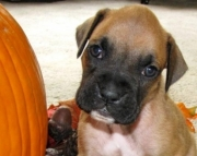 Boxer Puppies With Toys For Sale