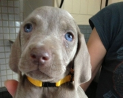 ted M/F Nice and Calm Weimaraner Puppies
